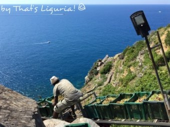 moving in the vineyards Cinque Terre