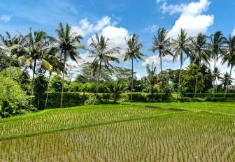 Rice fields and palm trees