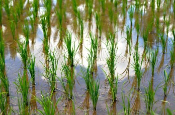 cloud reflection in the rice field