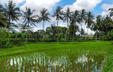 Lush Rice Fields with Palm Trees