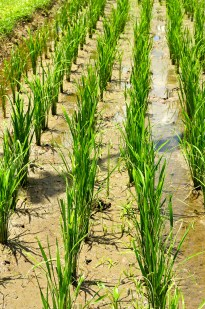 closeup of rice in the field
