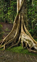 mangrove tree with Crazy Tree Roots