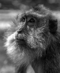 old and wise monkey with large grey beard