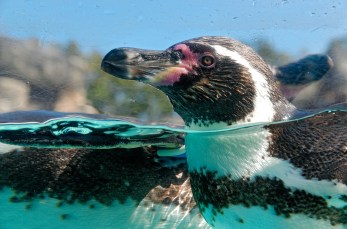 Extreme Closeup of Penguin