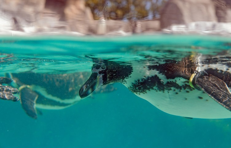 Closeup of Penguin, swimming