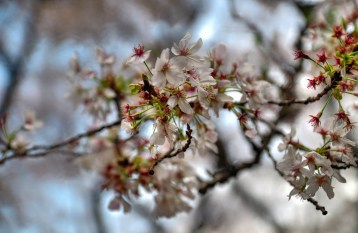 Extreme closeup of Cherry Tree Blossoms