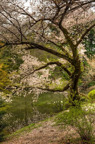 Cherry blossoms over lake in Tokyo city park