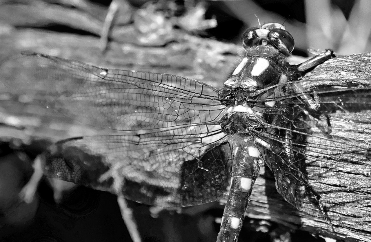 Dragonfly resting