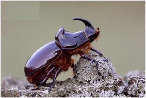 Rhino Beetle | Top 10 strongest animals