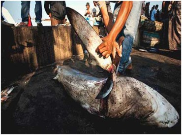 Shark - Top 10 animals being killed by poachers