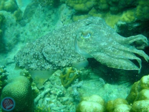 Sotong katak