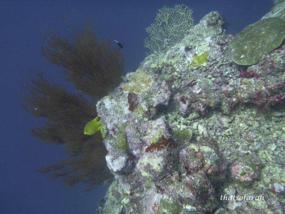 Gorgonian Sea Fan