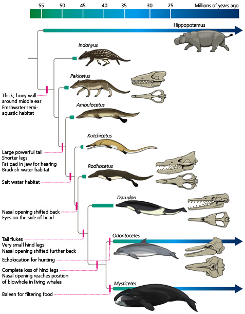 prehistoric whale evolution over the epochs