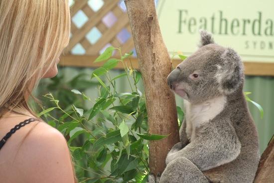 koala_sydney_that_wanderlust