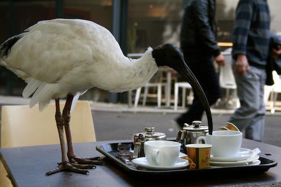 sydney_ibis_that_wanderlust