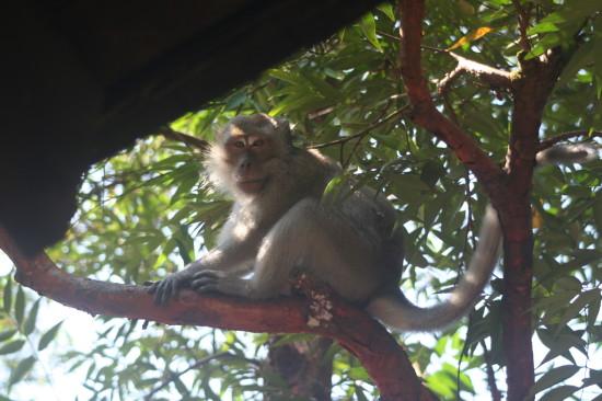 singapore_bukittimah_monkeytree