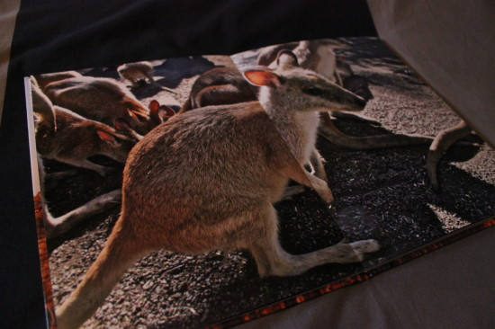 albelli_kangaroo