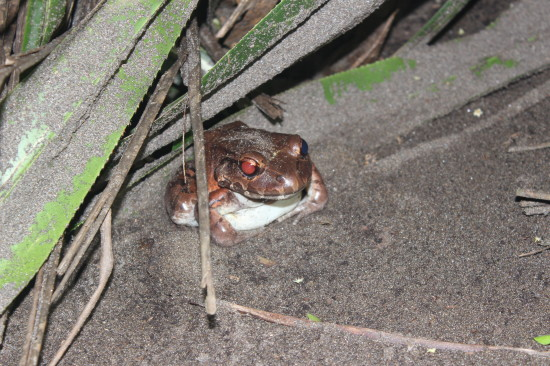 The Smokey Jungle Frog, the biggest frog there is in Costa Rica