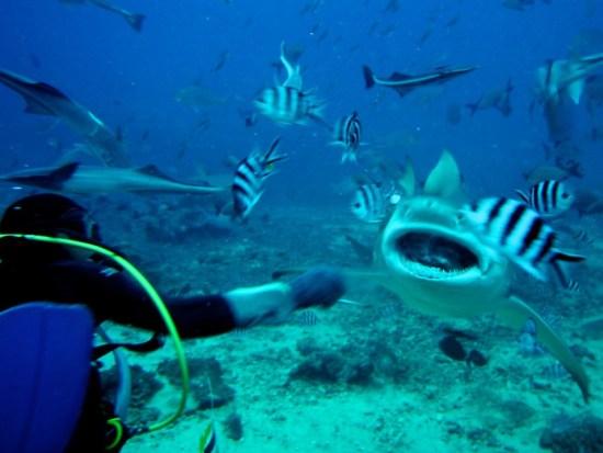 bull sharks-Brian Goode