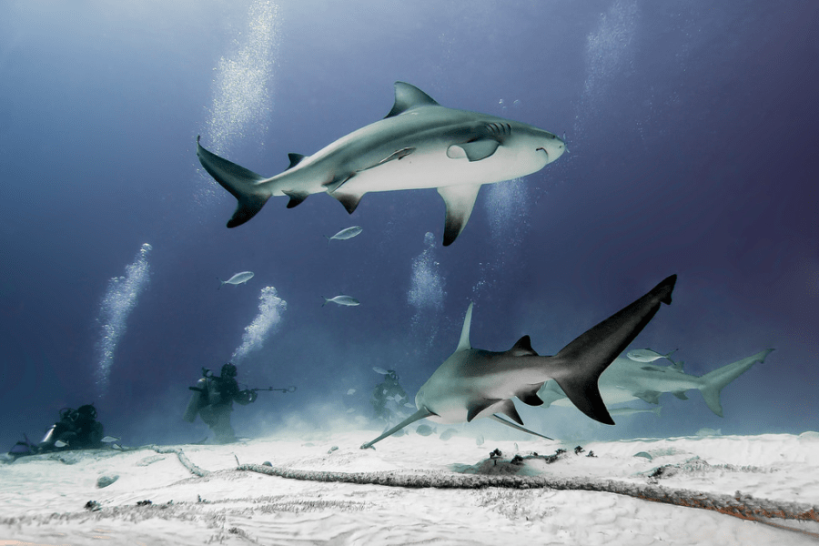 bull sharks-absolute-adventure-mexico
