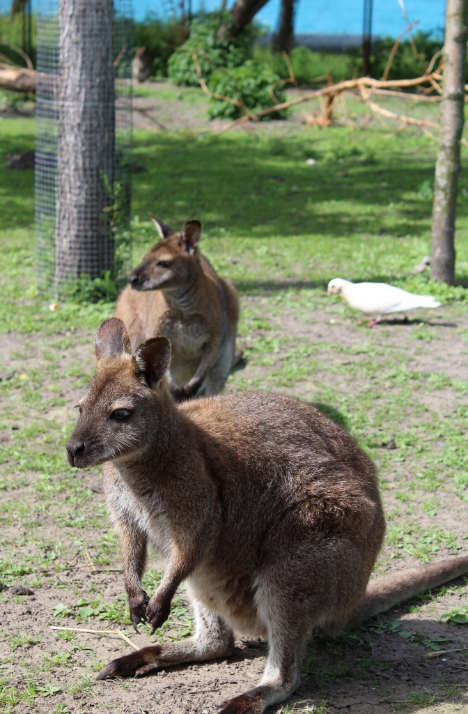 Baby kangaroos! That random pigeon at the background again..