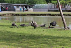 An angry mama black swan with its baby swans. We could barely balk closer cause it was VERY protecting its offsprings.