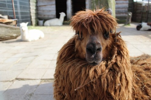 My favorite picture of them all! Like... c'mon, look at it. Everything's perfect: the hairstyle is on point, the confidence is shining... And yeah, I believe that it put that twig there on purpose (FASHION! Gotta accessorize even if you're a llama)