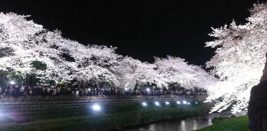 野川桜ライトアップ