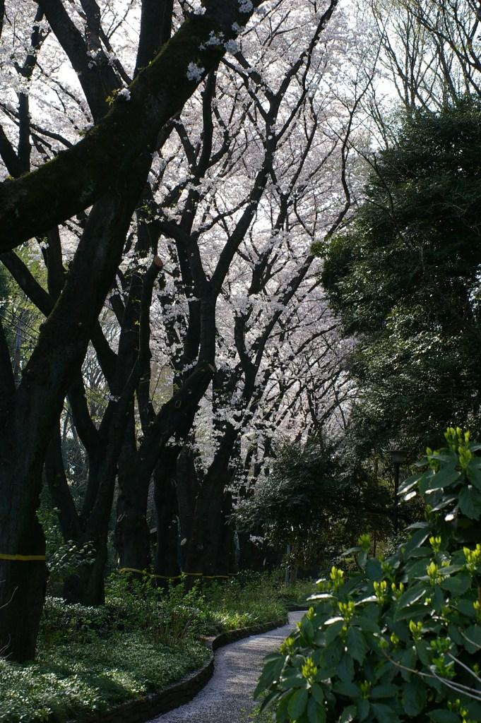 神代植物公園通りの桜並木