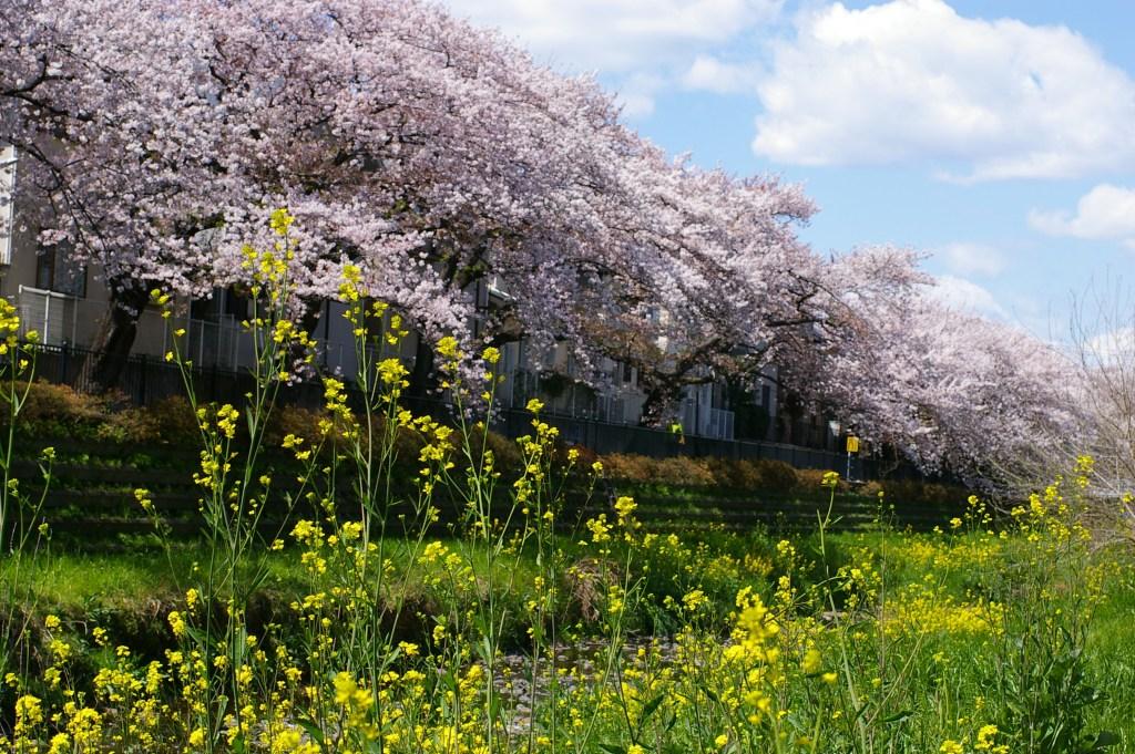 野川の桜と葉の花
