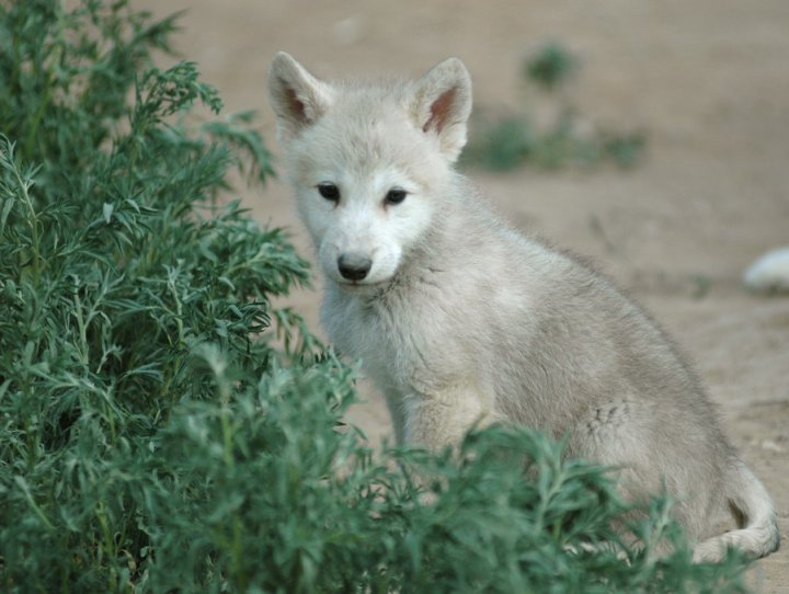 Wolf_pup_