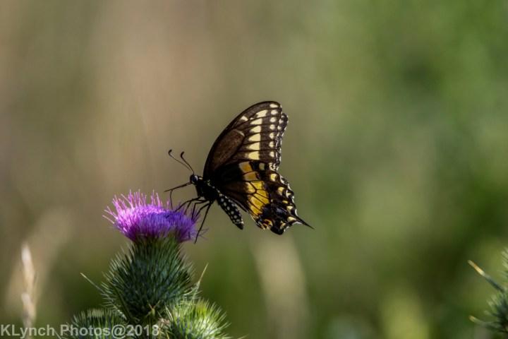 03 SwallowtailB_12