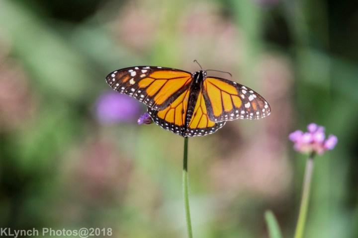 14 Monarch_12