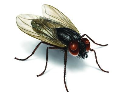 house-fly-illustration_2550x2037