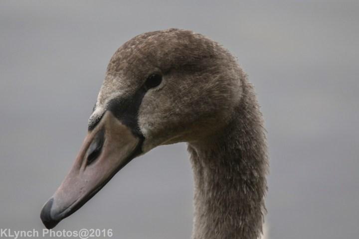 08 Swans