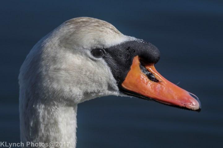 14 Swan