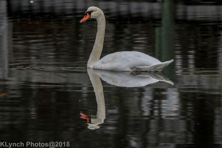 19 Swans