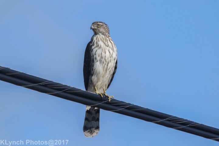 16 hawk