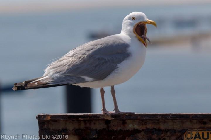 13 gulls