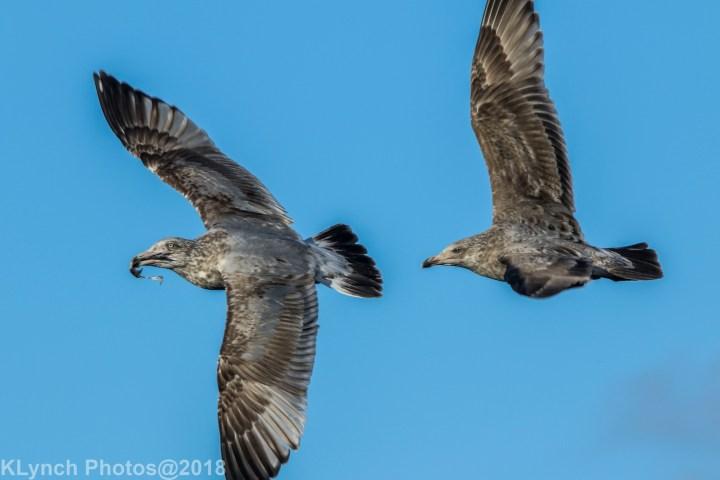 18 Gulls