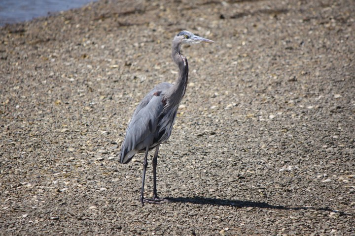 06 heron