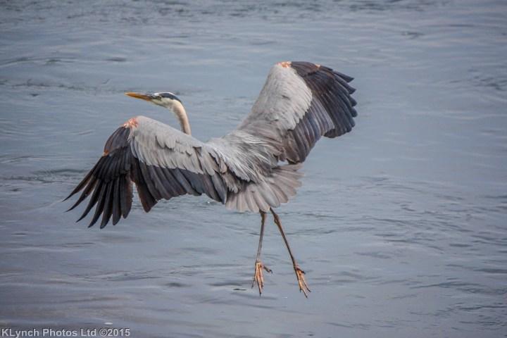 19 heron