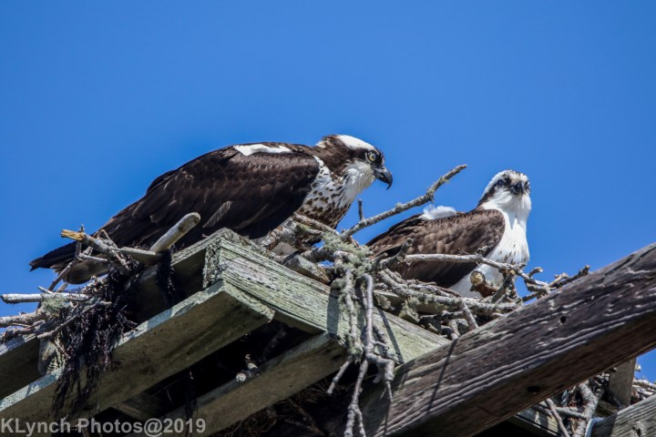 02 osprey