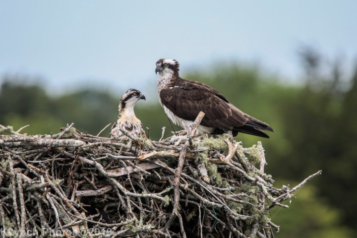 06 osprey