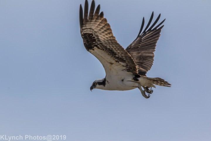 18 osprey