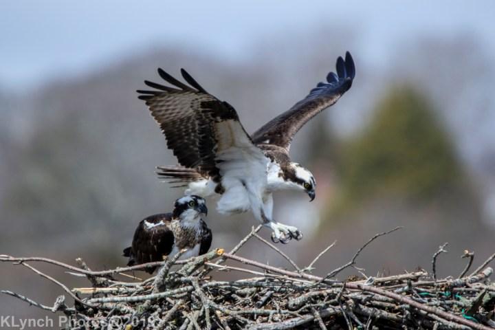 25 osprey