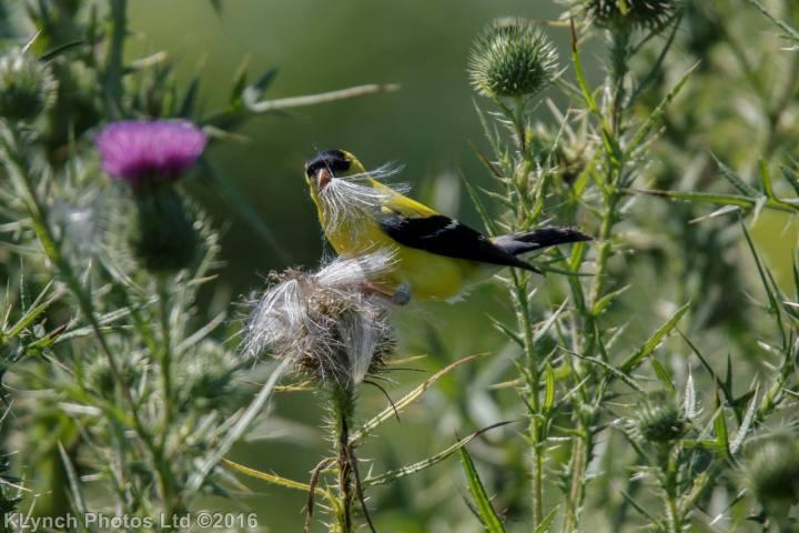 07 Goldfinch