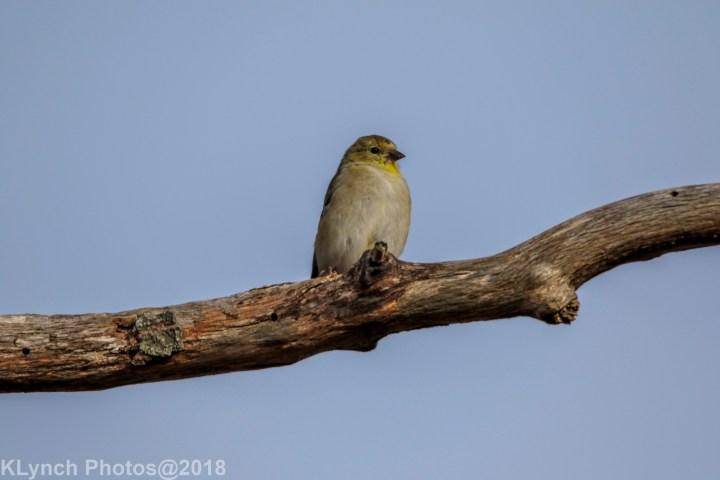 19 Goldfinch