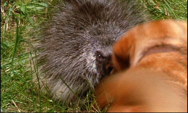 63-the-incredible-journey-ooooh-luath-you-had-better-be-careful-with-porcupines.JPG
