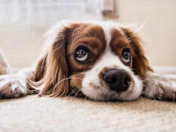 do treatment, dog rehab, dog rehabilitation, dog osteopathy, luxating patella